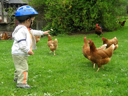 Krmilec-kokoši
